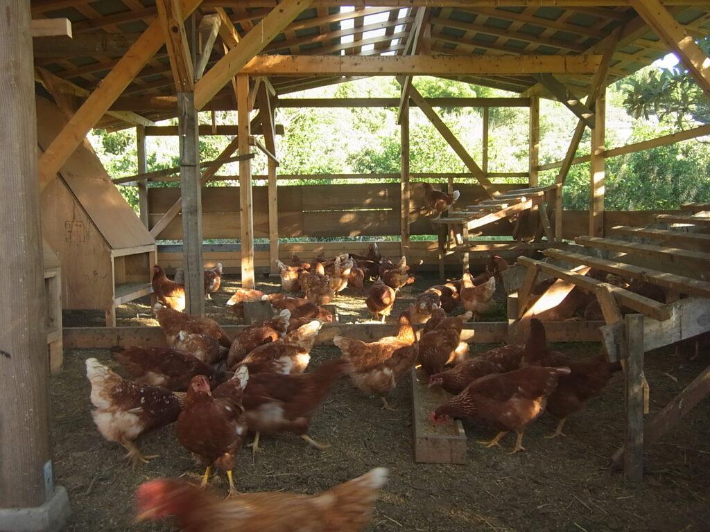 自然卵養鶏の鶏舎の様子。