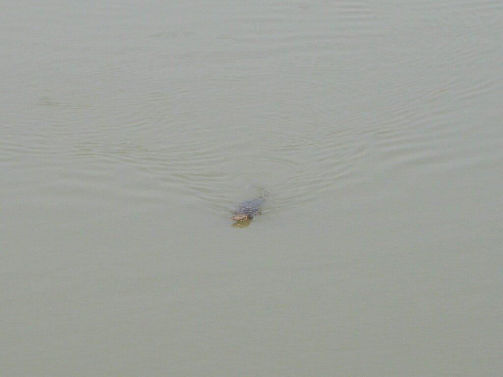 川でワニを発見。