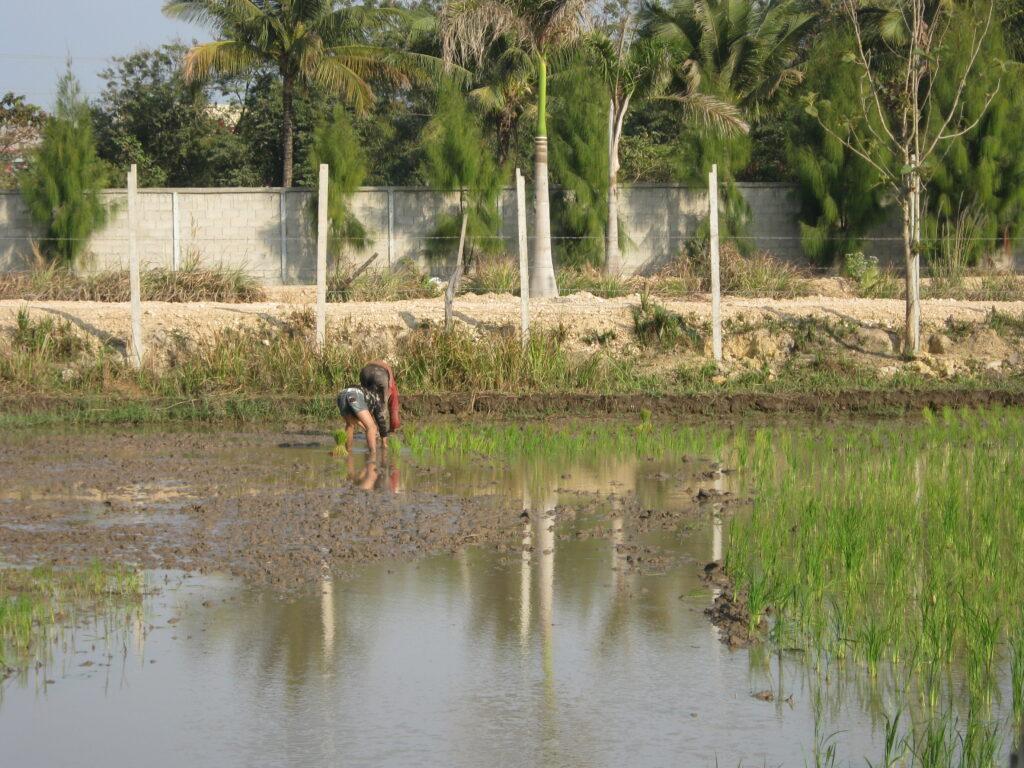 ラオスで、田植えをする風景。