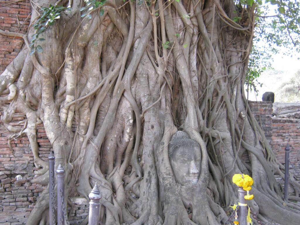 ワット・プラ・マハータートの木に埋まった仏様の顔。