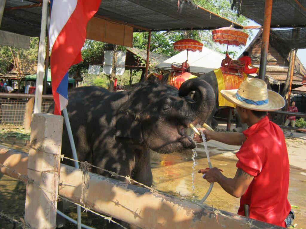 アユタヤの象が水を飲む。