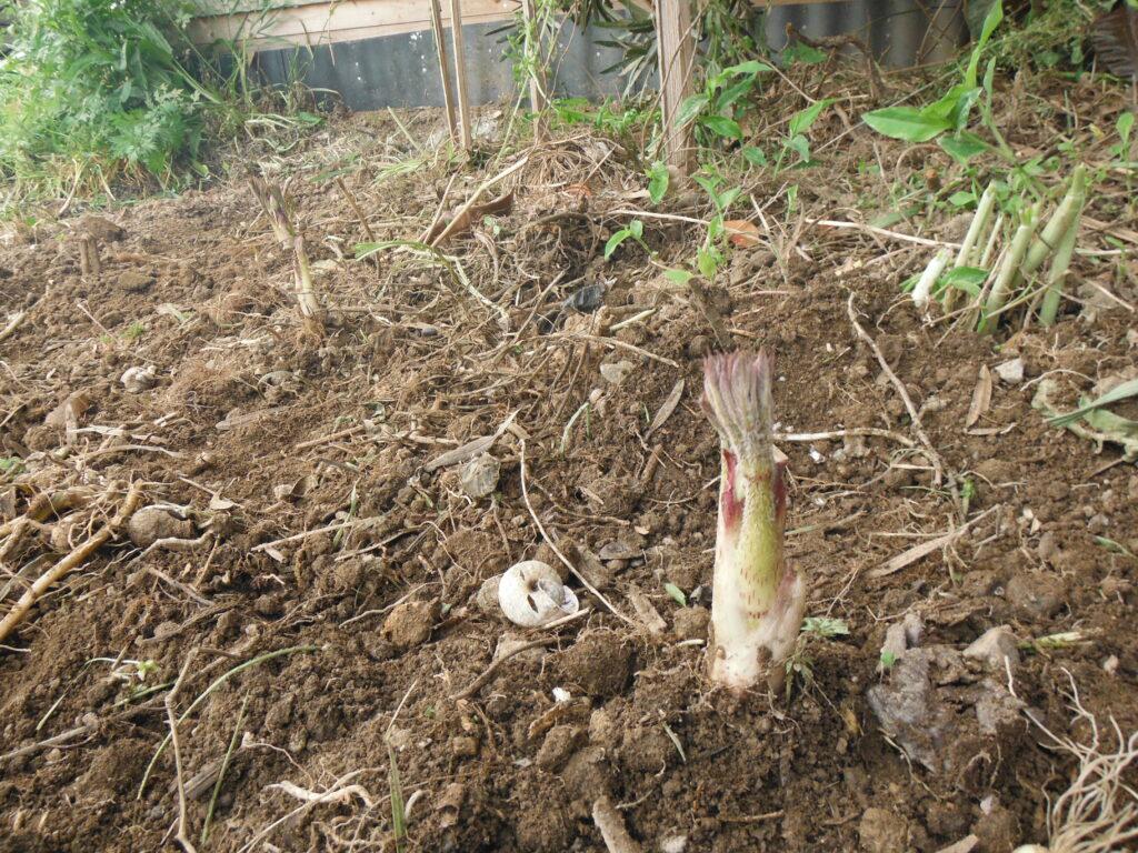 ウドの植え付け。